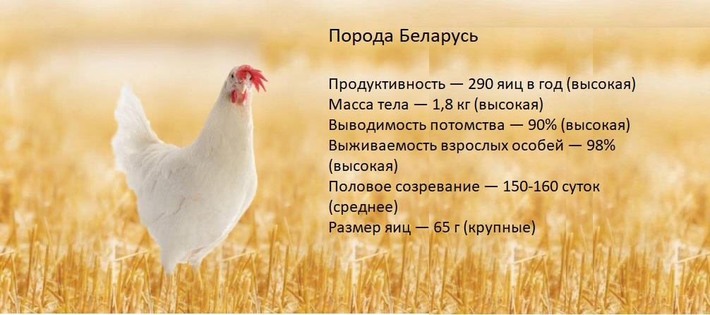 Куры Беларусь