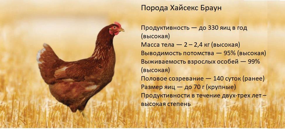 Куры Хайсекс Браун