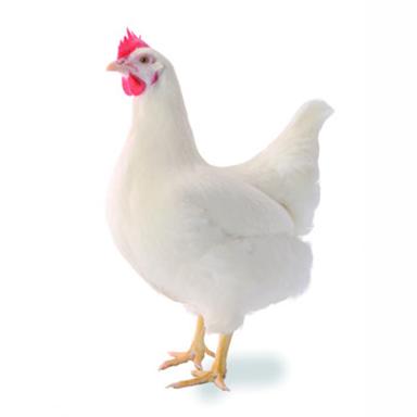 Курица несушка Хайсекс Браун